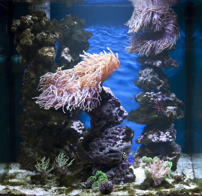 anemoner_koraller_foto_OA68
